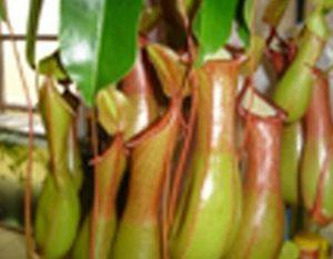 nepenthes_a